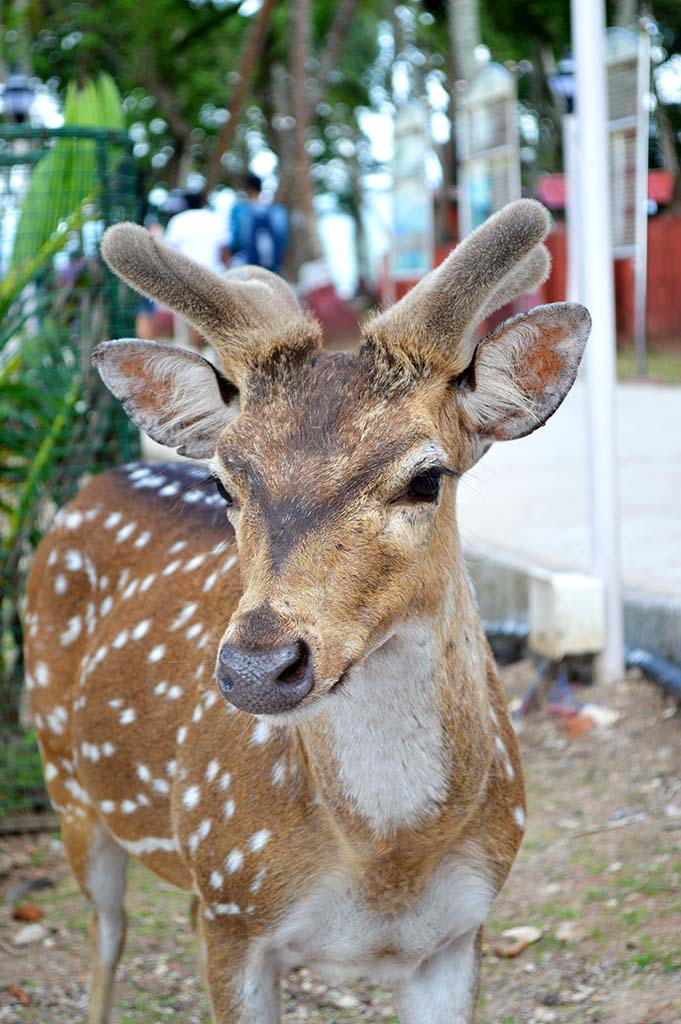 spotted-deer-ross-island