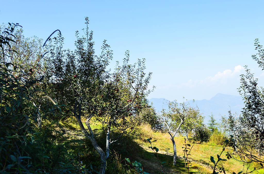 apple-garden-kufri