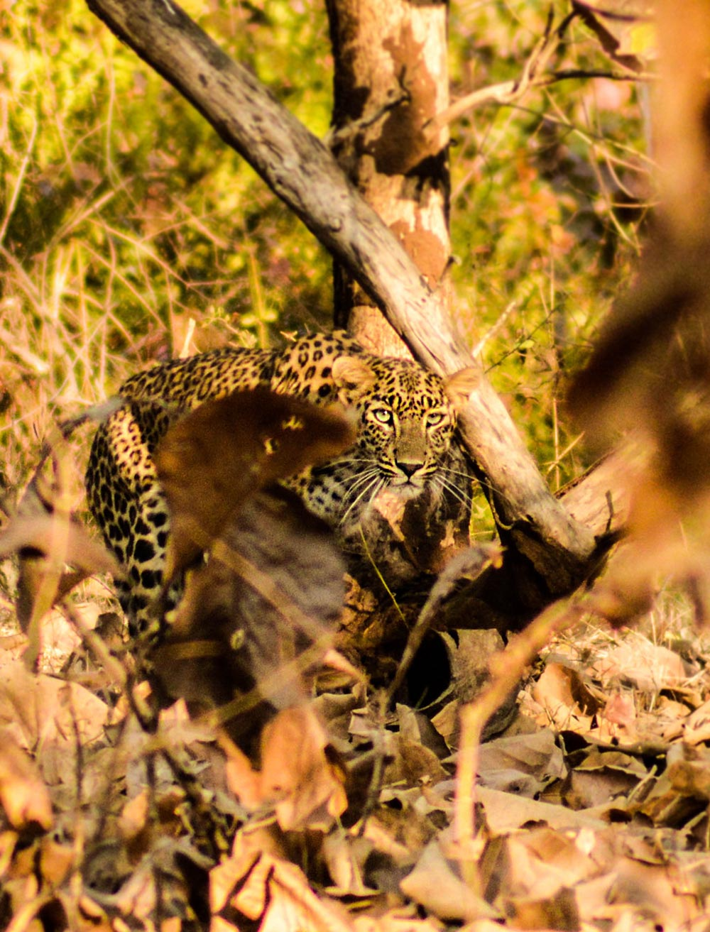 indian-leopard-at-gir-forest