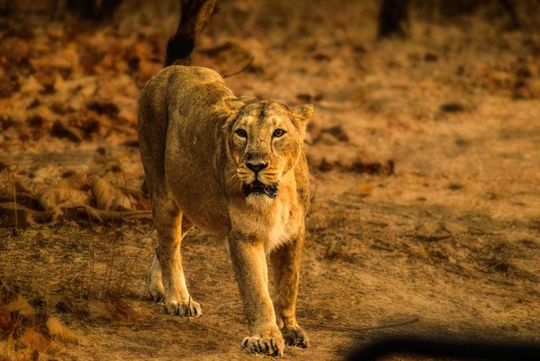 lion-gir-gujarat